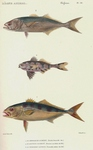 ...bluefish (Pomatomus saltatrix), man-of-war fish (Nomeus gronovii), greater amberjack (Seriola du
