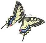 Old World swallowtail, common yellow swallowtail (Papilio machaon)