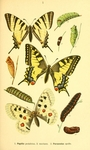 ...scarce swallowtail (Iphiclides podalirius), common yellow swallowtail (Papilio machaon), Apollo