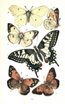 common yellow swallowtail (Papilio machaon), common brimstone (Gonepteryx rhamni), dark clouded ...