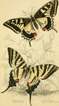 common yellow swallowtail (Papilio machaon), scarce swallowtail (Iphiclides podalirius)