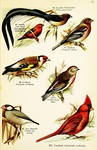 ...red avadavat (Amandava amandava), common chaffinch (Fringilla coelebs), European goldfinch (Card