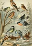 Eurasian siskin (Spinus spinus), hawfinch (Coccothraustes coccothraustes), common linnet (Linari...