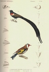 long-tailed widowbird (Euplectes progne), European goldfinch (Carduelis carduelis)
