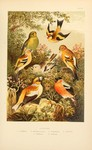 common chaffinch (Fringilla coelebs), brambling (Fringilla montifringilla), European greenfinch ...