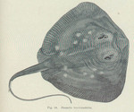short-tail stingray, smooth stingray (Dasyatis brevicaudata)