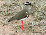 crowned lapwing, crowned plover (Vanellus coronatus)