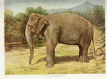 Asian elephant, Asiatic elephant (Elephas maximus)