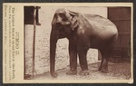 Indian elephant (Elephas maximus indicus)