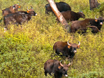 Indian bison, gaur (Bos gaurus)