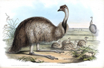 common emu (Dromaius novaehollandiae)