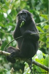 pig-tailed langur (Simias concolor)