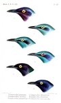 ...purple glossy starling (Lamprotornis purpureus), lesser blue-eared glossy-starling (Lamprotornis