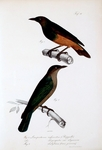 chestnut-bellied starling (Lamprotornis pulcher), greater blue-eared glossy-starling (Lamprotorn...