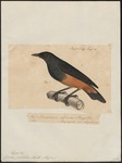 chestnut-bellied starling (Lamprotornis pulcher)