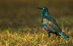 lesser blue-eared glossy-starling (Lamprotornis chloropterus)