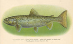 Atlantic salmon (Salmo salar) - landlocked salmon