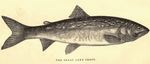 lake trout (Salvelinus namaycush)