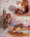 Silent-Winged Owls of North America: common barn owl (Tyto alba), long-eared owl (Asio otus), sh...