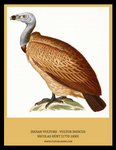 Indian vulture, long-billed vulture (Gyps indicus)