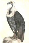 white-rumped vulture (Gyps bengalensis)