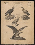cinereous vulture (Aegypius monachus), Egyptian vulture (Neophron percnopterus), king vulture (S...