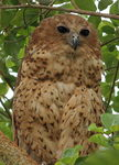 Pel's fishing owl (Scotopelia peli)
