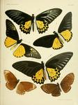 ...Malay birdwing (Troides amphrysus), common birdwing (Troides helena), common mime (Papilio clyti