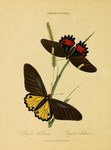 common birdwing (Troides helena), ruby-spotted swallowtail (Papilio anchisiades)