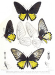common birdwing (Troides helena)