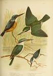...azure kingfisher (Ceyx azureus), sacred kingfisher (Todiramphus sanctus), red-backed kingfisher