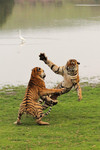 tiger (Panthera tigris) - tigers playing