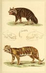 brown hyena (Hyaena brunnea), tiger (Panthera tigris)