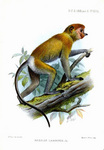 proboscis monkey, long-nosed monkey (Nasalis larvatus)