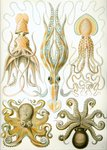 ...umbrella squid (Histioteuthis bonnellii), long-armed squid (Chiroteuthis veranyi), Pinnoctopus c