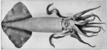 Humboldt squid (Dosidicus gigas)