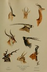 ...cranius walleri), gemsbok (Oryx gazella), waterbuck (Kobus ellipsiprymnus), blackbuck (Antilope