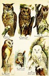 Owls: Eurasian eagle-owl (Bubo bubo), tawny owl / brown owl (Strix aluco), long-eared owl (Asio ...
