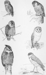 ...trix varia), great horned owl (Bubo virginianus), barn owl (Tyto alba), burrowing owl (Athene cu...