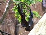 Rodrigues flying fox, Rodrigues fruit bat (Pteropus rodricensis)