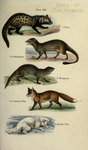 ...rey mongoose  (Herpestes edwardsii), red fox or common fox (Vulpes vulpes), Arctic fox (Vulpes l
