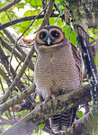 brown wood owl (Strix leptogrammica)