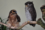 brown wood owl (Strix leptogrammica), barred eagle-owl (Bubo sumatranus)