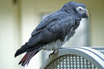 Timneh parrot (Psittacus timneh)