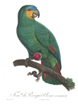 orange-winged amazon (Amazona amazonica)