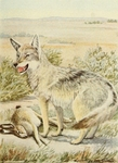 plains coyote (Canis latrans latrans)