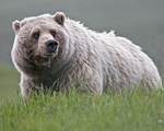 grizzly bear, North American brown bear (Ursus arctos horribilis)