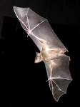 Egyptian fruit bat, Egyptian rousette (Rousettus aegyptiacus)