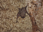 Egyptian tomb bat (Taphozous perforatus)