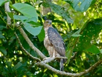 Wallace's hawk-eagle (Nisaetus nanus)
